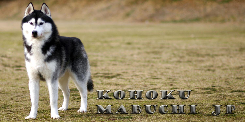 ハスキー 子犬 シベリアン